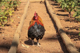 Beautiful rooster in a field - 175402656