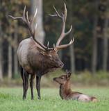 Bull Elk with calf - 175405867