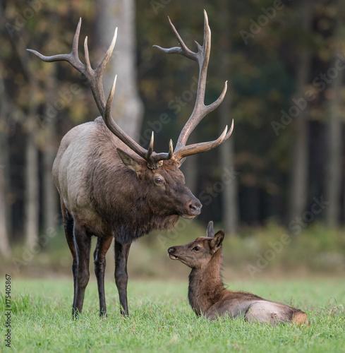 Fotobehang Hert Bull Elk with calf