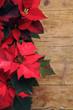Euphorbia pulcherrima  Flor de Navidad Poinsettia Weihnachtsstern Nochebuena Αλεξανδρινό Pflanze Corona del Inca Stella di natale pascua Poinsetia 一品紅 Joulutähti Julstjärna krukväxt