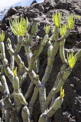 Fotobehang Canarische Eilanden Kleinia neriifolia or Verode plant