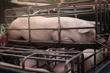 Pigs suffer in cages on the way to the slaughterhouse. Terribly sad eyes of the pig. Another proof of human cruelty. - 175417887