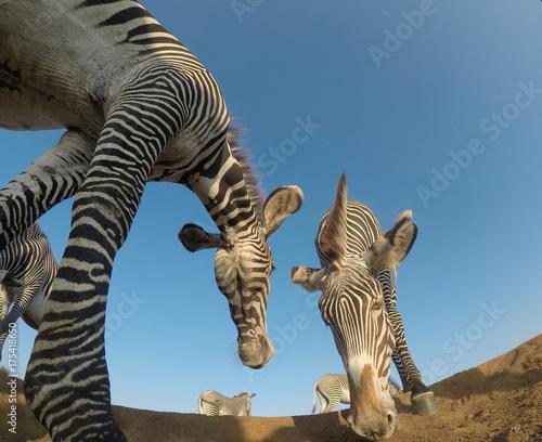 Fototapeta Grevy's Zebra
