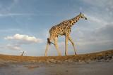 Reticulated Giraffes - 175419004