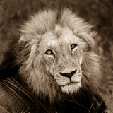 Face of the male lion - 175423659