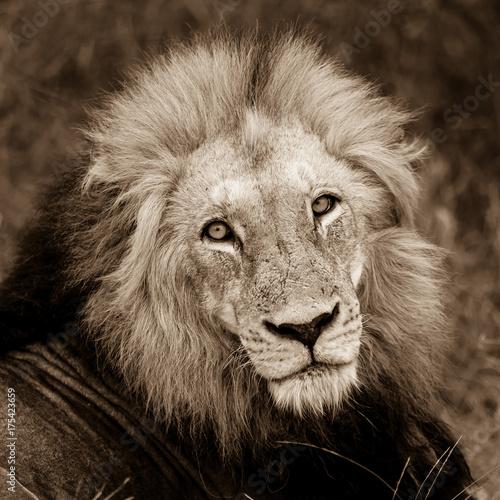 Aluminium Lion Face of the male lion