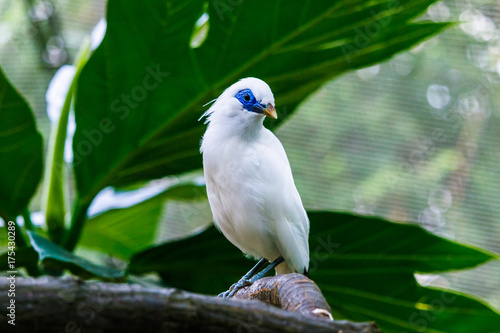 Fotobehang Bali Bali Myna perched on tree limb, Edward Youde Aviary, Hong Kong Park.