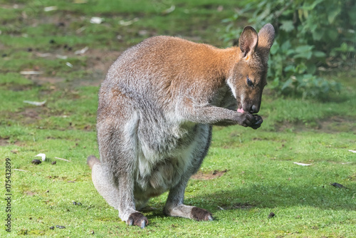 Aluminium Kangoeroe Kangaroo standing on the grass, licking itself fingers