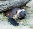 Wolverine Coming Out of Burrow