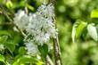 Syringa with white bloom