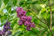 Flowers syringa in green background