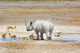 Black Rhinoceros at a waterhole with a herd of Impala in Etosha National Park, Namibia - 175442684