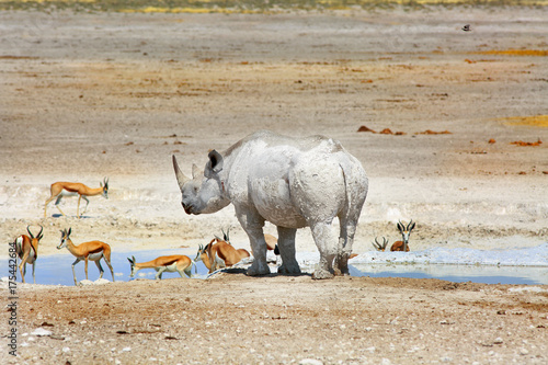 Fotobehang Neushoorn Black Rhinoceros at a waterhole with a herd of Impala in Etosha National Park, Namibia