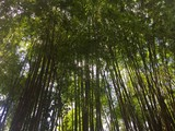 In the green bamboo garden.