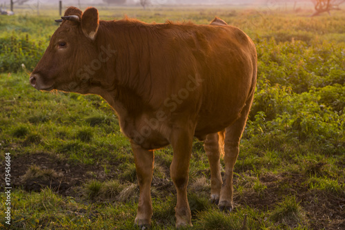 young bull in the morning light on the pasture