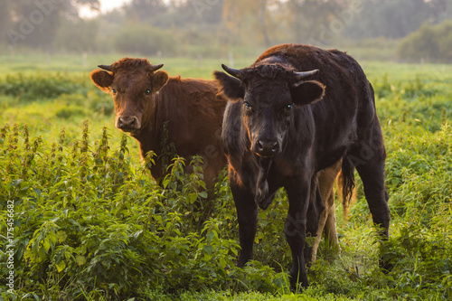 young bulls in the morning light on the pasture Poster