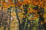 GOLDEN AUTUMN - Seasons in the beech forest - 175457065
