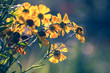 Bright yellow helenium flowers in the garden