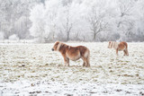 pony on snowy pasture on frosty day - 175470817