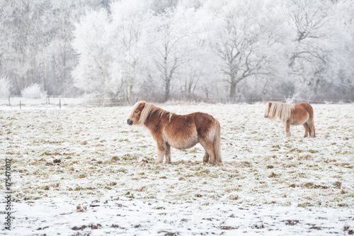 pony on snowy pasture on frosty day