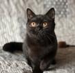 British shorthair black kitten