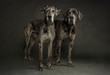 Two Merle Great Danes Standing