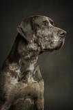 Side Profile Great Dane