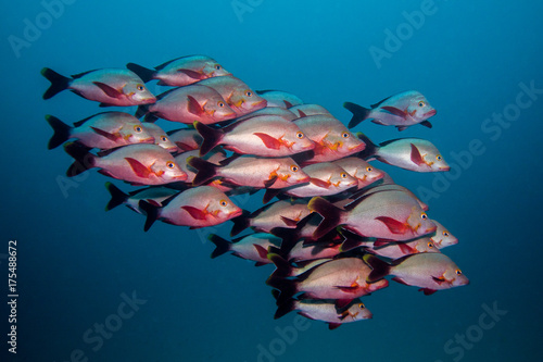 School of Humpback Snapper fish swimming in open water together Poster