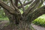 Ancient Tree - Ireland poster