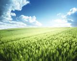 green wheat field - 175504093
