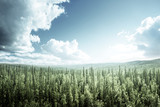 fir tree forest in sunny day - 175504210