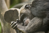 Old Chimpanzee - 175504835