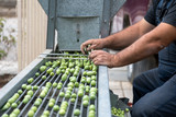 Hand sorting out collected green olives - 175504896