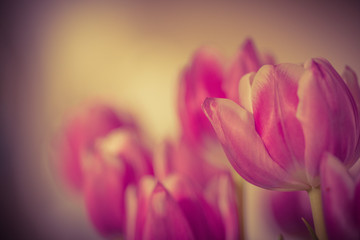 Beautiful tulip flower and green leaf background in the garden at sunny summer or spring day.