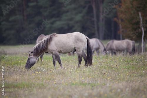 Konik Pferd frisst Gras - 175515240
