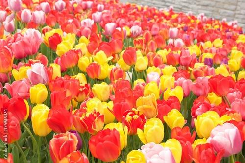 Fotobehang Tulpen Bright tulips