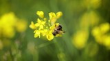 Bee collects nectar from mustard rapeseed flower slow motion. - 175518419