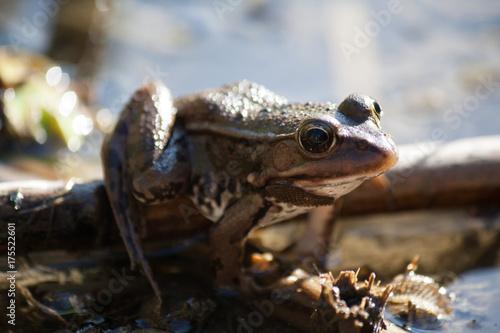 Fotobehang Kikker brown frog