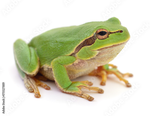 Aluminium Kikker Green frog isolated.