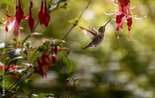 Hummingbird 5575