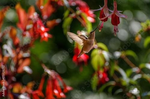 Hummingbird 6558