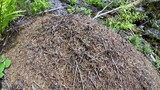 Wild ant hill in the forest - 175529669