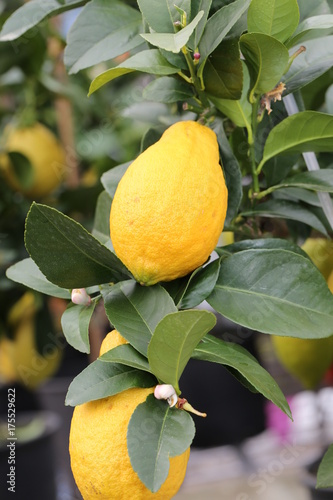 Spoed canvasdoek 2cm dik Palermo lemon plant with yellow ripe fruits