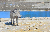 Isolated Warthog standing on the edge of a waterhole in Etosha - 175536680
