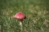 Toadstool toxic mushroom red and white on grass - 175538448