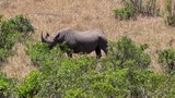 rare sighting of the black rhino in masai mara in kenya - 175577431
