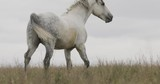 Wild horses on the field running gallop - 175583285