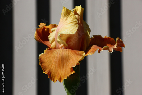 Fotobehang Iris Iris bud. A play of light and shades./Fine flower of an iris with petals in mustard tones. A background striped in grey tones.