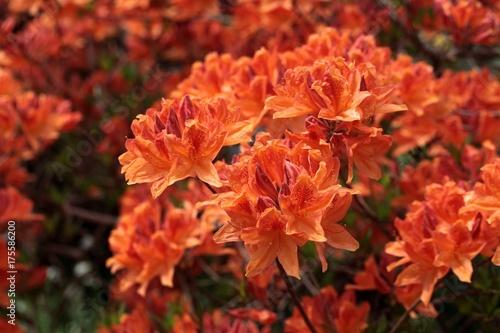 Fotobehang Azalea Rhododendron flowers