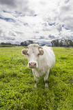Charolais cow grazing at Salor countryside, Caceres, Spain - 175587807